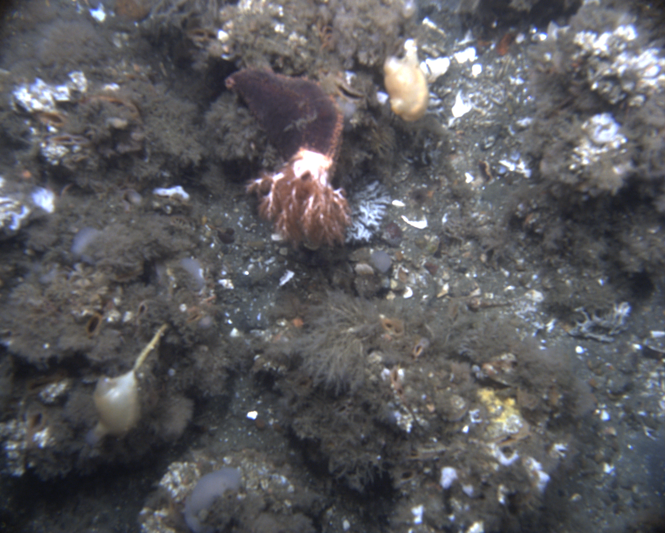 Orange-footed Sea Cucumber